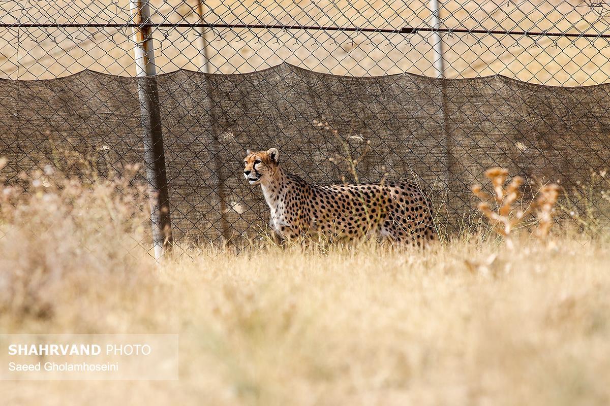 زندگی کوشکی و دلبر دو یوزپلنگ ایرانی