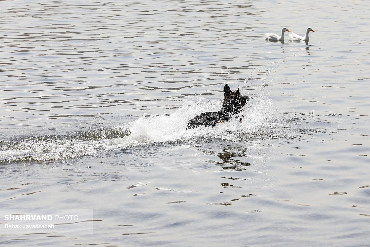 مانور مربیان آنست با ۳۰ قلاده سگ جستوجو و نجات در دریاچه چیتگر